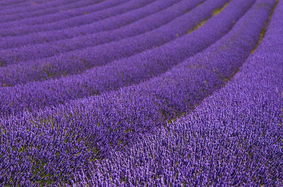 Hitchin Lavender Photograph by Sergio Amiti