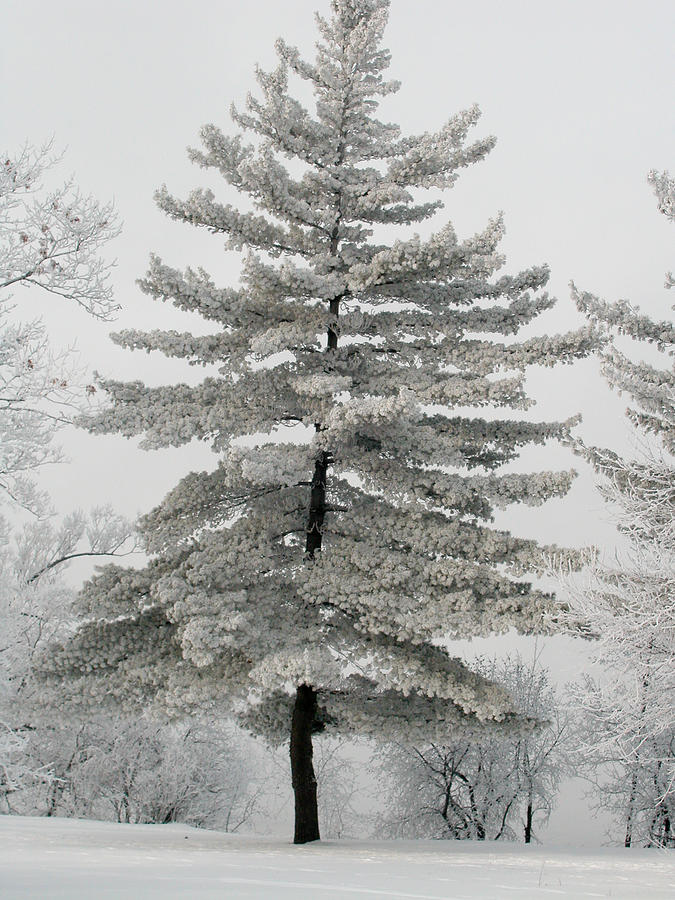 Christmas Tree Photograph - Hoarfrost Pine Tree by Rob Huntley