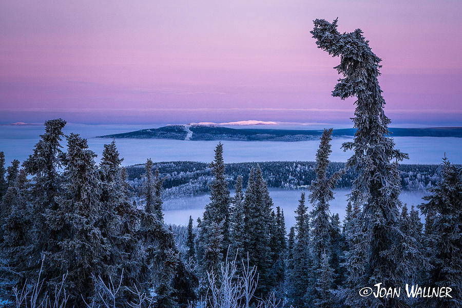 Alaska Photograph - Hoarfrost Sitka Spruce by Joan Wallner