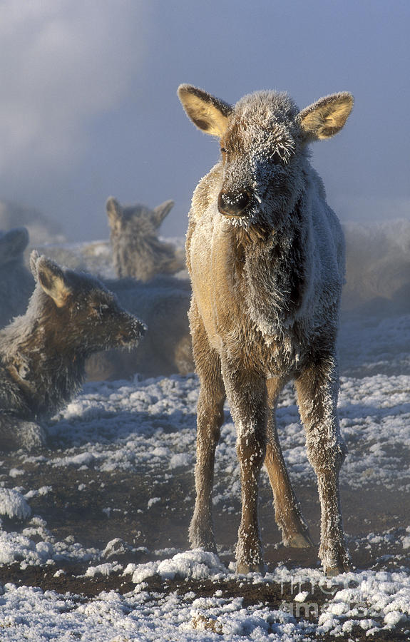 Yellowstone Photograph - Hoarfrosted Elk Calf by Sandra Bronstein