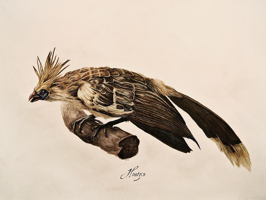 Hoatzin Painting - Hoatzin by Rachel Root