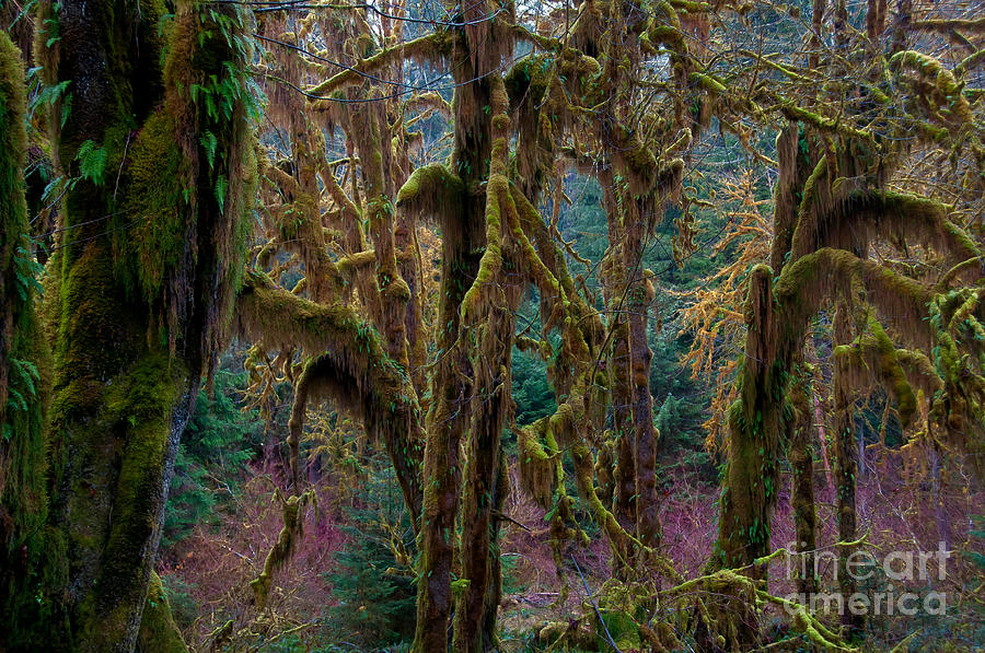 Nature Photograph - Hoh Rainforest, Olympic National Park by Mark Newman