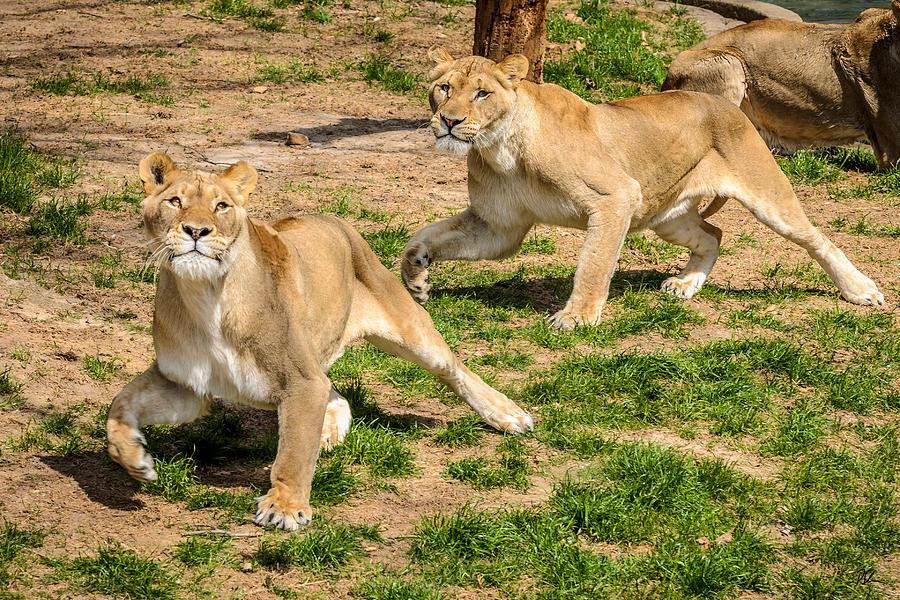 Lion Photograph - Hokie Pokie by Pat Scanlon