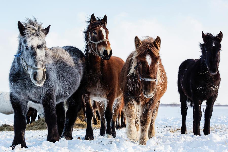 Hokkaido Ponies Walking In Snow Photograph by Pixelchrome Inc