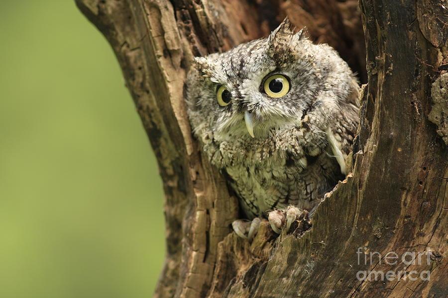 Screech Photograph - Hollow Screech- Eastern Screech Owl by Inspired Nature Photography Fine Art Photography