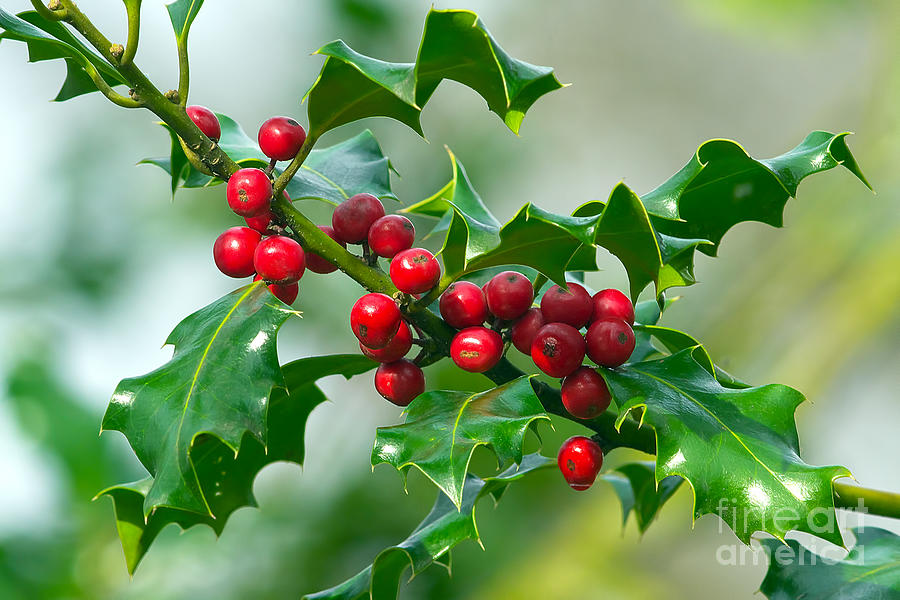 Holly Photograph - Holly Berries by Sharon Talson