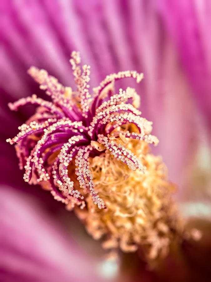 Mallow Photograph - Hollyhock 2 by Tomasz Dziubinski