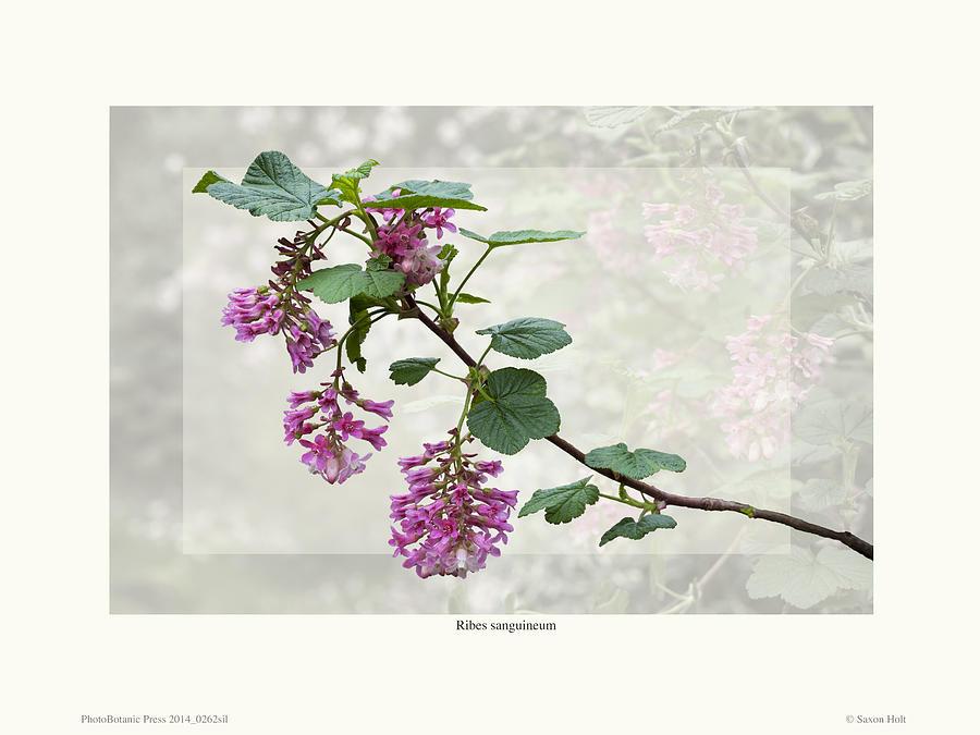 Ribes sanguineum - California Currant by Saxon Holt