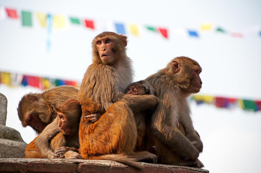 Holy Monkey at Swayambhunath Monkey Temple Nepal Photograph by Nora Carol Photography