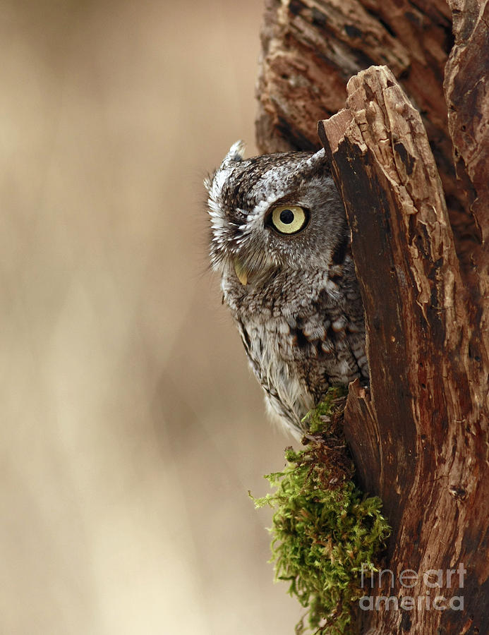 Home Sweet Home Photograph - Home Sweet Home - Eastern Screech Owl In A Hollow Tree by Inspired Nature Photography Fine Art Photography