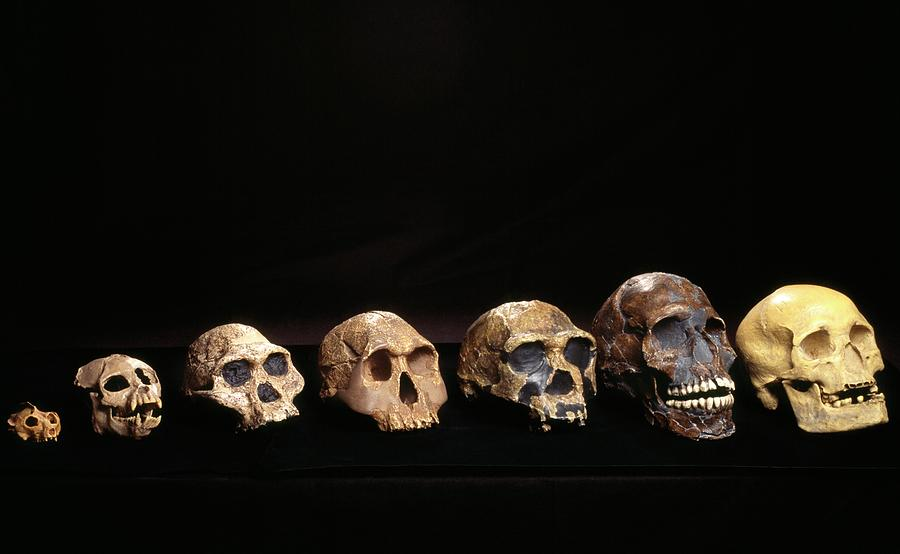 Hominid Photograph - Hominid Skulls by Pascal Goetgheluck/science Photo Library