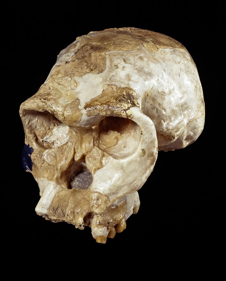 Twiggy Photograph - Homo Habilis Cranium (oh 24) by Science Photo Library