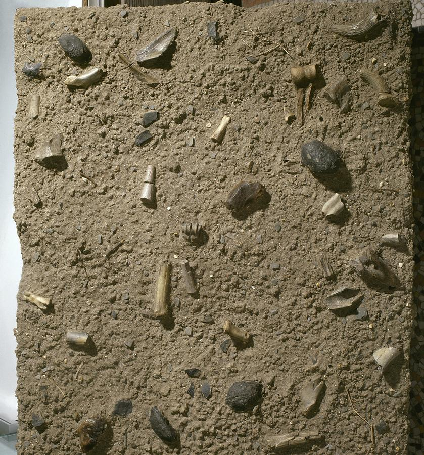 Anthropological Photograph - Homo Habilis Fossil Bed by Science Photo Library