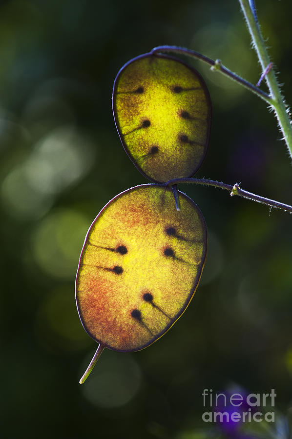 Lunaria Annua Photograph - Honesty Seed Pods by Tim Gainey
