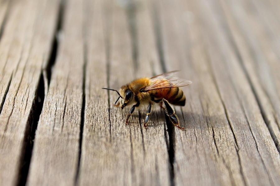 Honey Bee Photograph - Honey Bee Beauty Shot by Candice Trimble