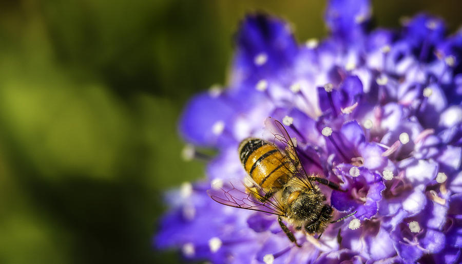 Bee Photograph - Honey Bee by Caitlyn  Grasso