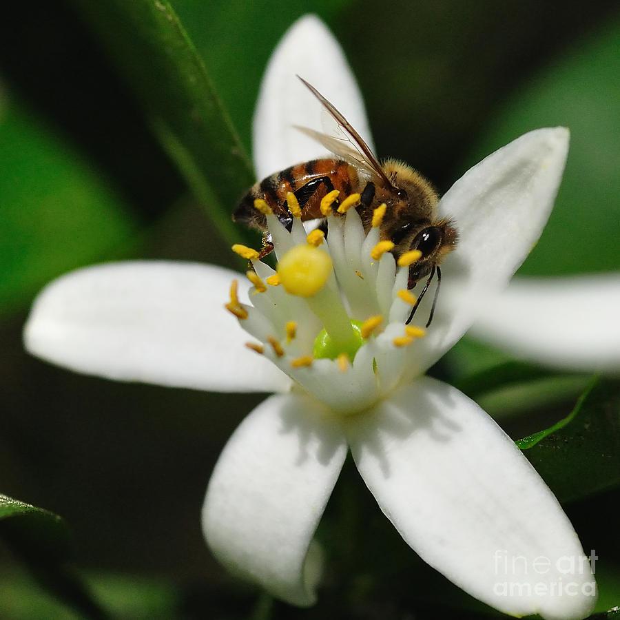 Bee Photograph - Honey Bee Encircling Orange Blossom - Bees by Wayne Nielsen