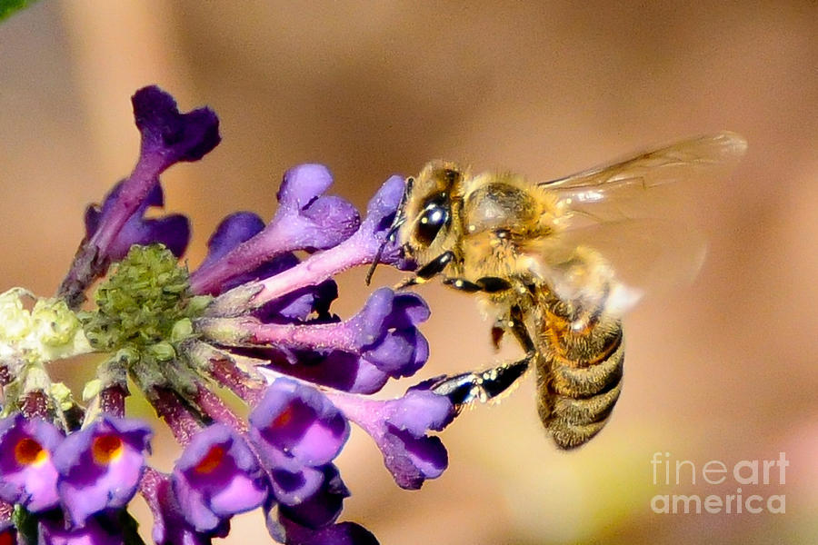 Honey Bee on Butterfly Bush by Jean A Chang
