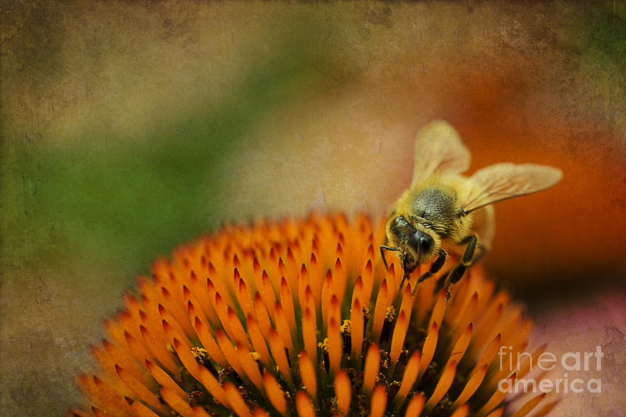 Bee Photograph - Honey Bee On Flower by Dan Friend