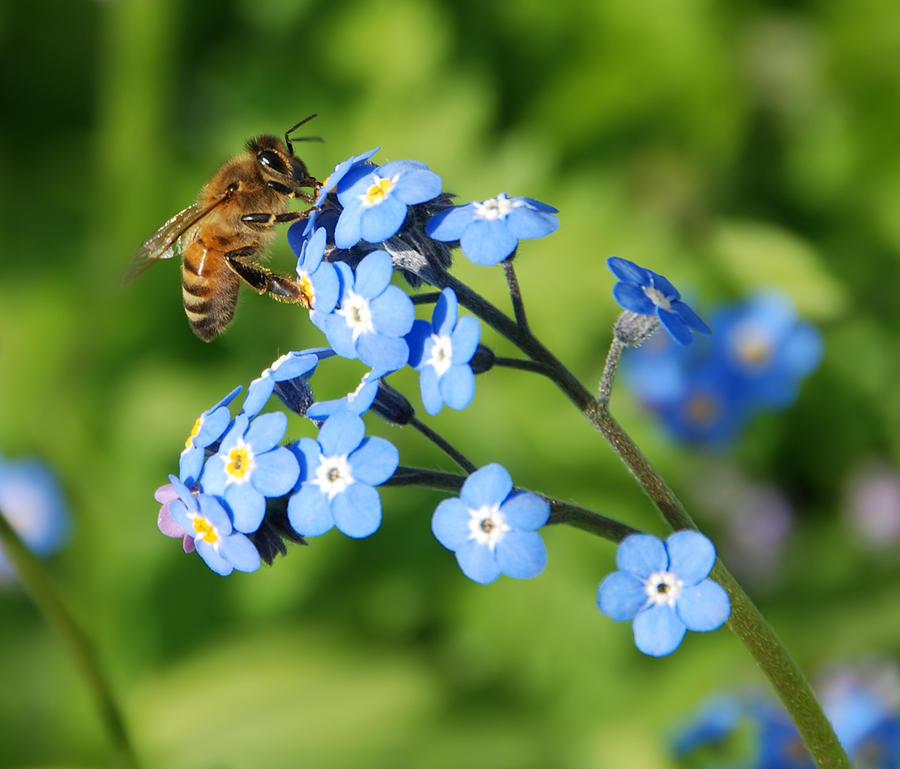 Animal Photograph - Honey Bee On Forget-me-not Flowers by Marv Vandehey