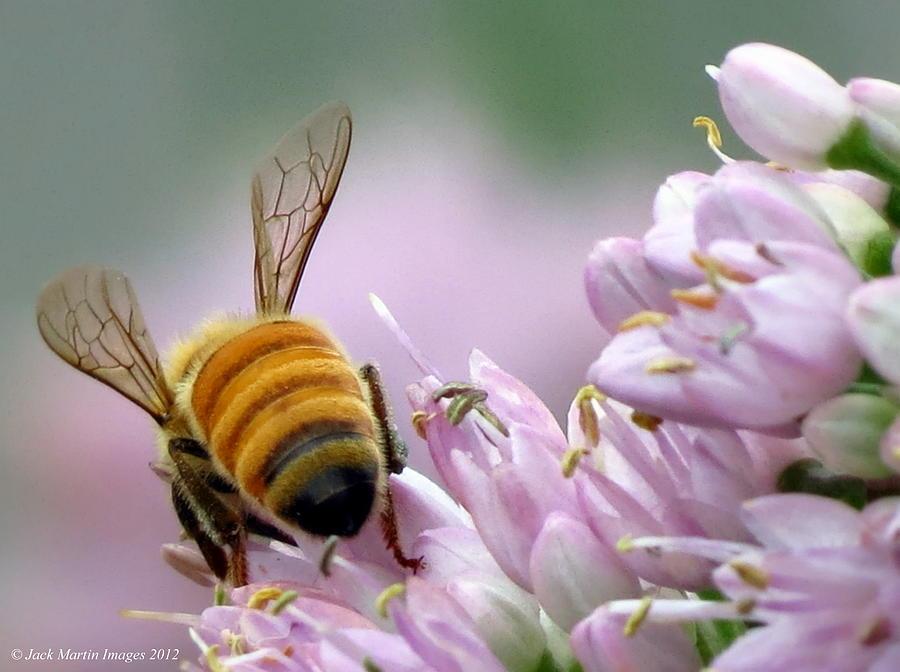 Honey Bee Purple Beauty Pollen Collection Of West Michigan