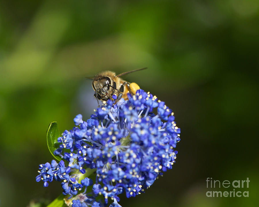 Honeybee Photograph - Honeybee On California Lilac by Sharon Talson