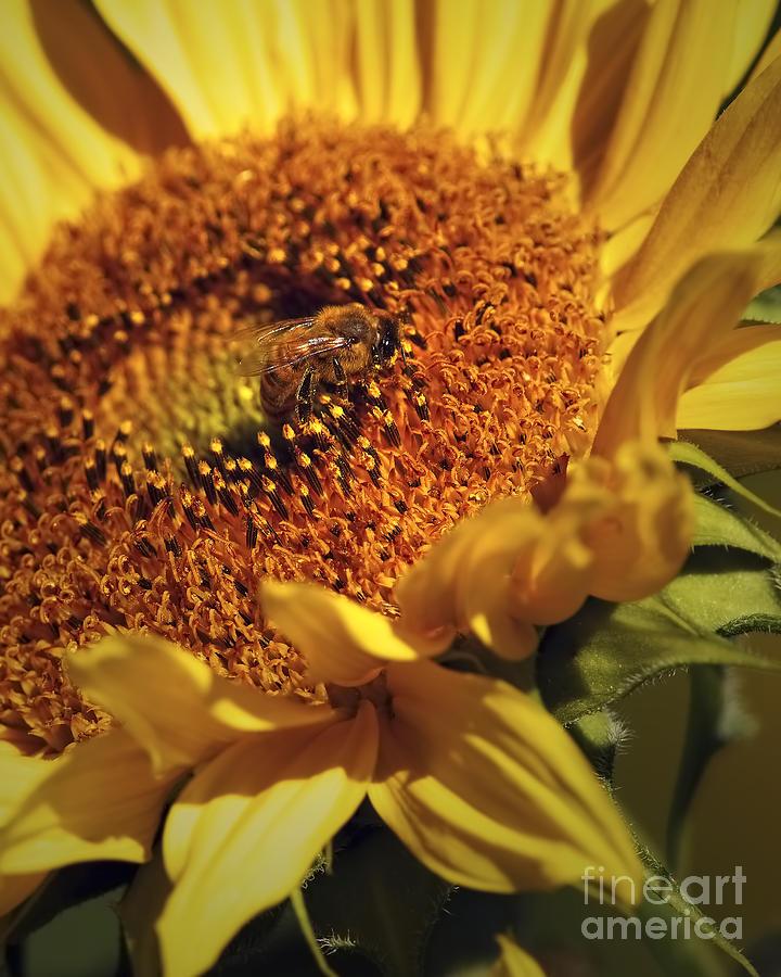 Sunflower Photograph - Honeybee On Sunflower by Sharon Talson