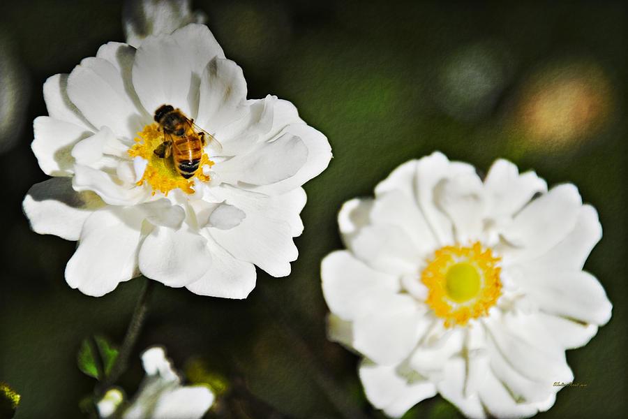 Honeybee On White Flower Photograph