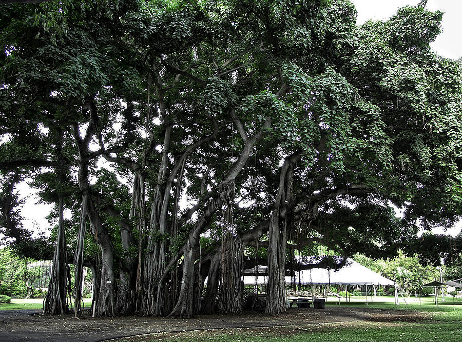 Banyan Photograph - Honolulu Banyan Tree by Daniel Hagerman
