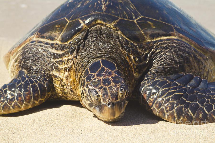 Honu Hawaiian Sea Turtle Hookipa Beach Maui North Shore Hawaii Photograph