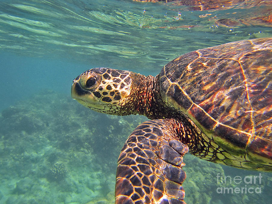 Honu Hello by Bette Phelan