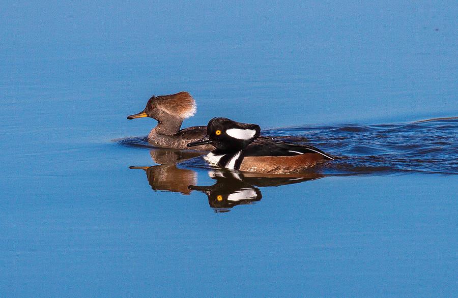 Ducks Digital Art - Hooded Merganser Pair by Thomas Kaestner