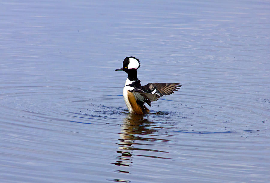 Hooded Merganser Photograph - Hooded Merganser by Wild Expressions Photography