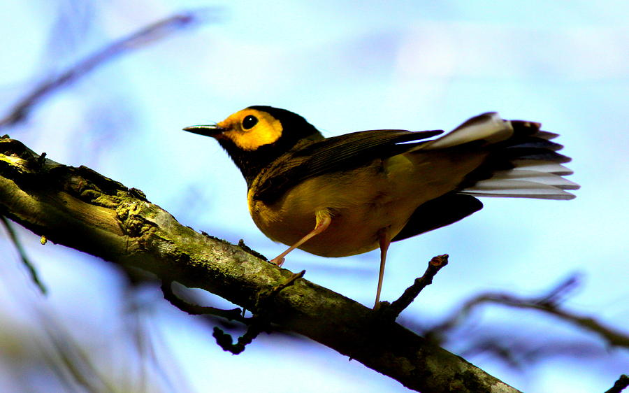 Bird Photograph - Hooded Warbler - Img 9290-002 by Travis Truelove