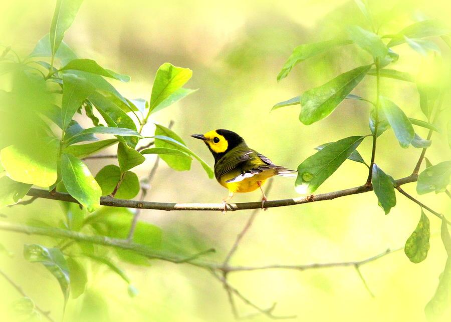 Bird Photograph - Hooded Warbler - Img_9274-007 by Travis Truelove