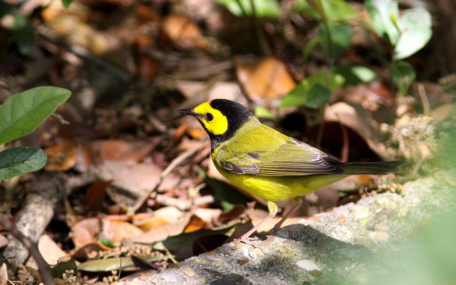 Bird Photograph - Hooded Warbler - Img_9349-001 by Travis Truelove