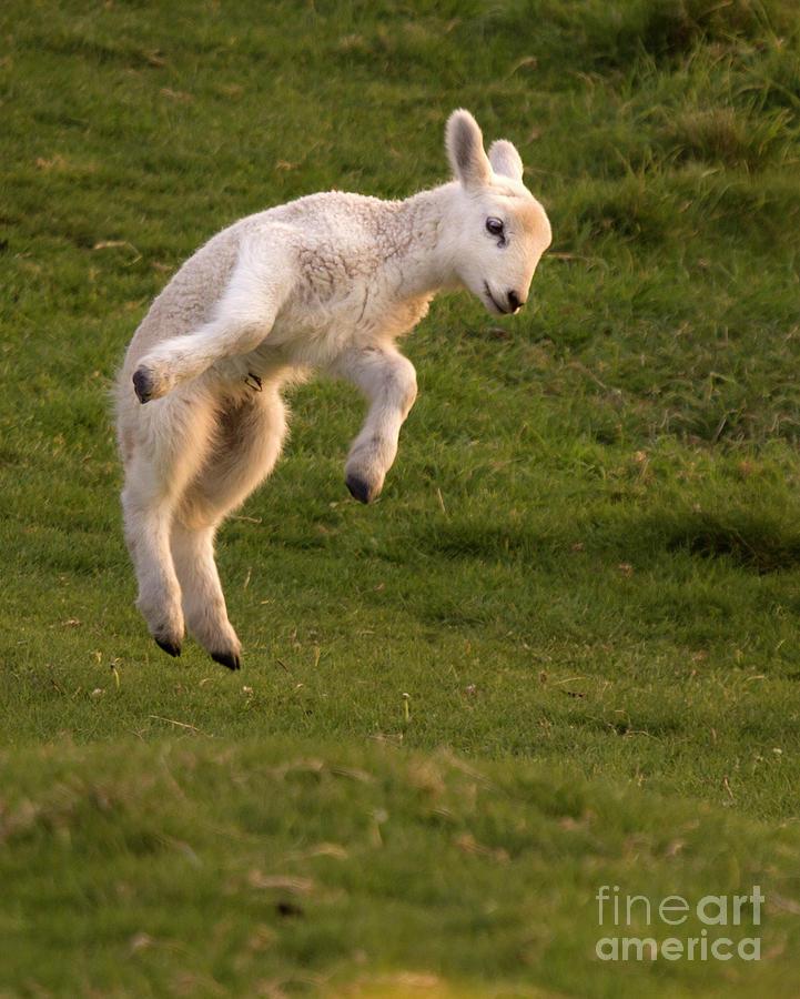 Lamb Photograph - Hop Hop Hop by Angel Ciesniarska