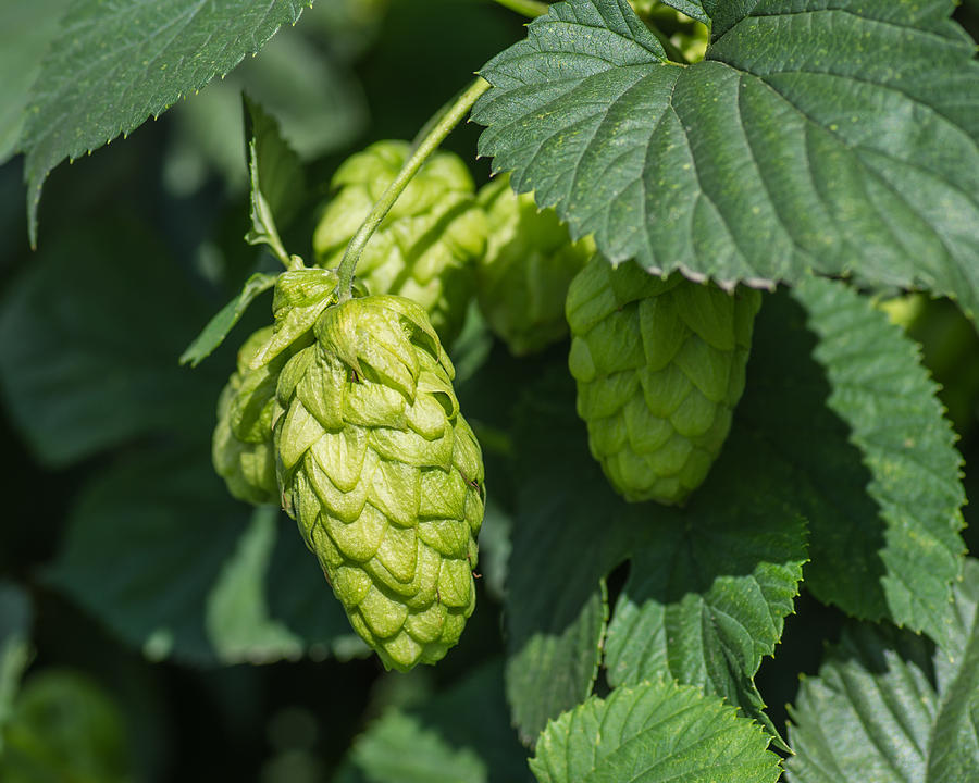 Hops Photograph - Hops For Beer by Priya Ghose