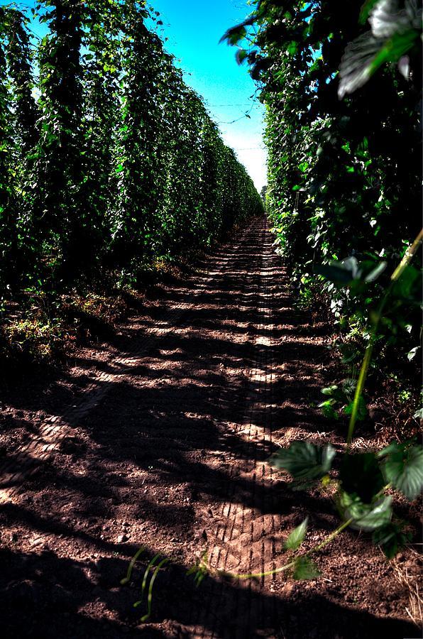 Hops On The Vine 16041 Photograph