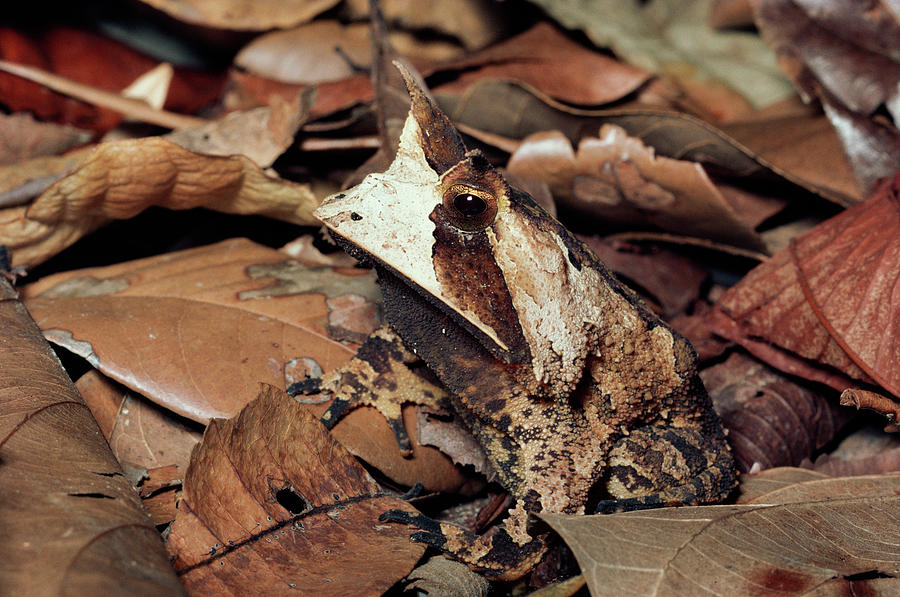 Brazil Photograph - Horned Frog Camouflaged In Leaf Litter by Michael and Patricia Fogden