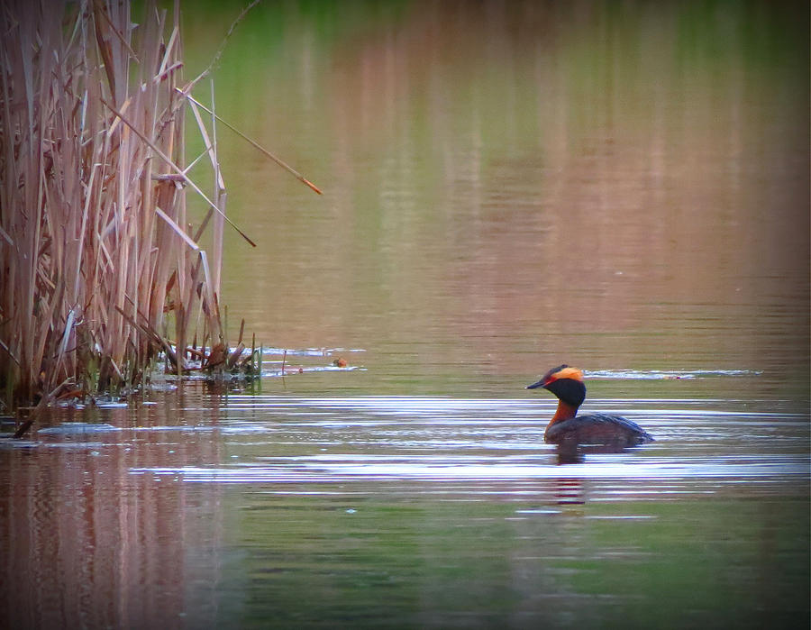 Ducks Photograph - Horned Grebe by Marcus Moller