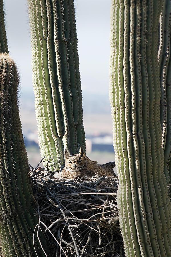 Horned Owl In A Nest Inside A Cactus Photograph by Jim Julien / Design Pics