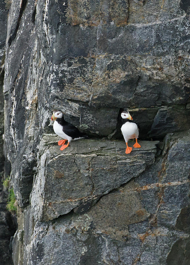 Horned Puffins On Rocky Island Photograph by Keren Su