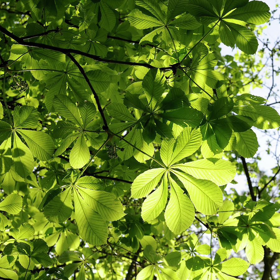 Horse Chestnut Leaves Photograph by Jeffoto