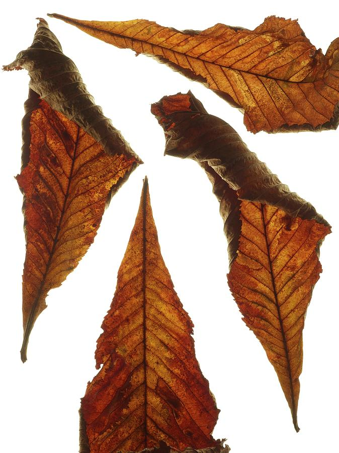 Nobody Photograph - Horse Chestnut Leaves by Science Photo Library