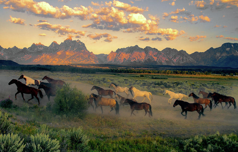 Horse Drive At Teton Sunrise Photograph by Patricia Bauchman Photography