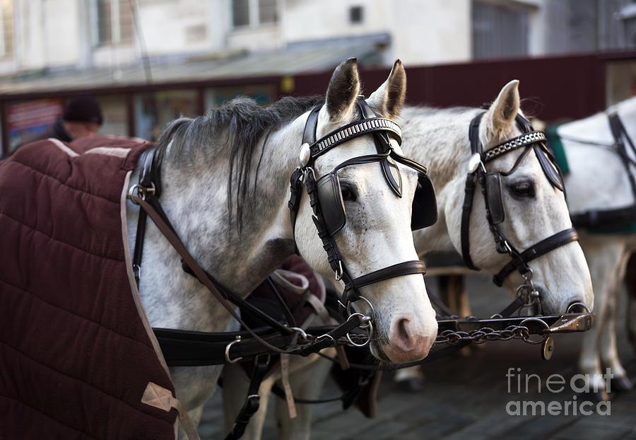 Horse Portrait Photograph - Horse Portrait In Vienna by John Rizzuto