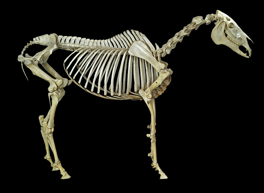 Horse Skeleton Photograph by Natural History Museum, London