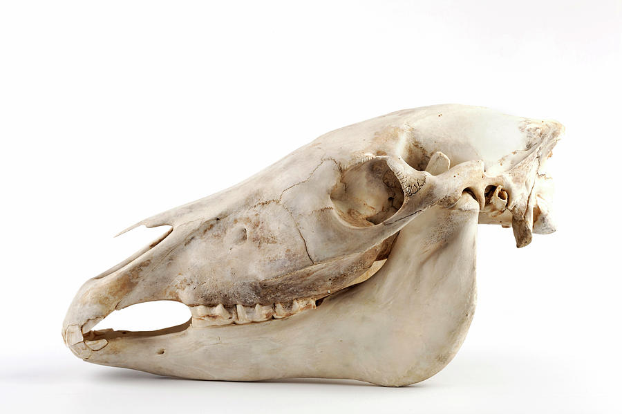 Horse Skull Photograph by Ucl, Grant Museum Of Zoology