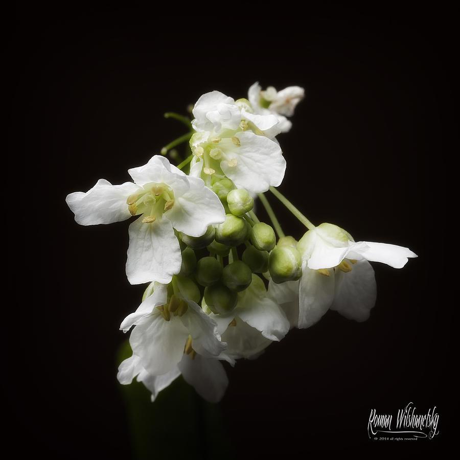 Horseradish Bloom by Roman Wilshanetsky